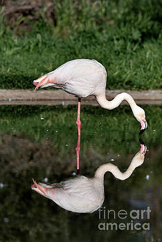 Greater Flamingo by George Atsametakis