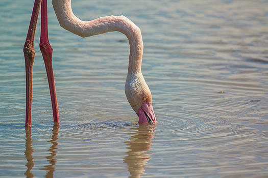 Greater flamingo in Parc de Camargue, France by Jivko Nakev