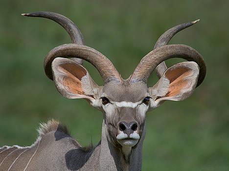 Warren Sarle - Greater Kudu - Male