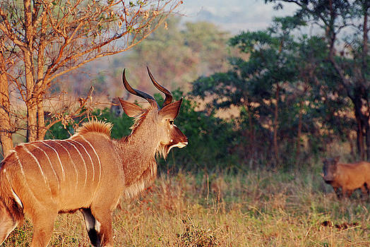 Harvey Barrison - Greater Kudu Taking Notice of a Distant Warthog