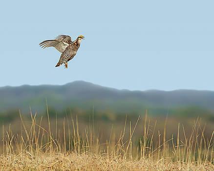 Nikolyn McDonald - Greater Prairie Chicken - Flight