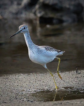 Greater Yellowlegs - 4260,S by Wally Hampton