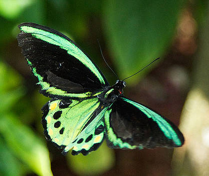 Dee Carpenter - Green and Black Butterfly