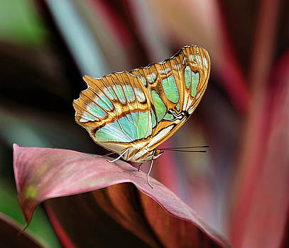 Green and Gold Butterfly by Wes and Dotty Weber