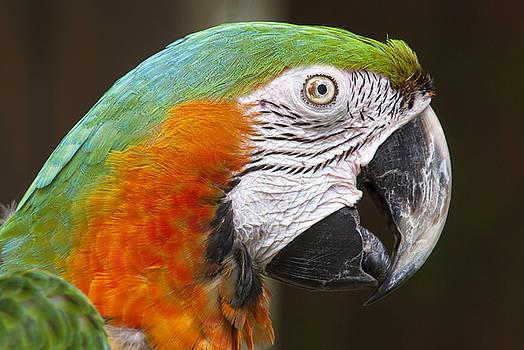 Green and Orange Macaw Profile by John McQuiston