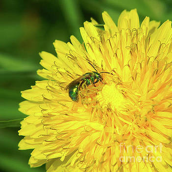 Green Bee on Dandelion by Robin Clifton
