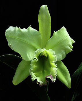 Green Cattleya by Rosalie Scanlon