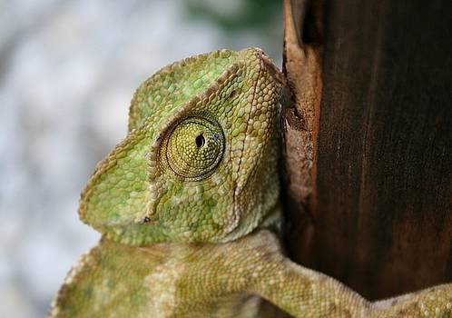 Tracey Harrington-Simpson - Green Chameleon Holding On To A Shed Door