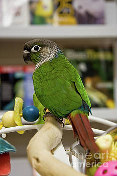 Jill Lang - Green Cheek Conure