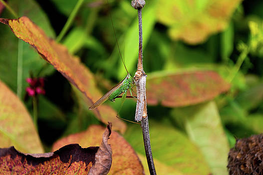Green conehead cricket holding twig by Scott Lyons