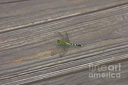 Green Dragonfly by Lori Amway