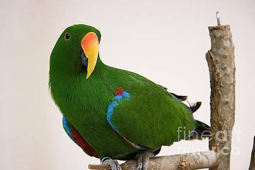 Green Eclectus Parrot by Jill Lang