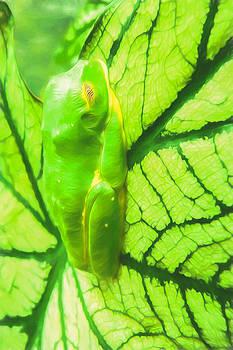 Priya Ghose - Green Frog Art By Priya Ghose