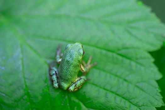 Green Frog on a Green Leaf North American Grey Tree Frog by Jakub Sisak