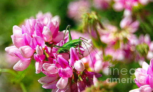 Green Grasshopper On Pink Flowers by Christo Christov