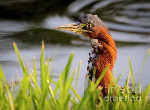 Green Heron Closeup  by Ricky L Jones