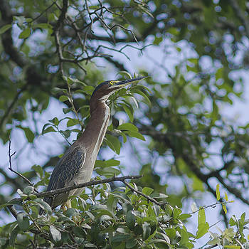 Green heron in Tree 2 by Billy Stovall