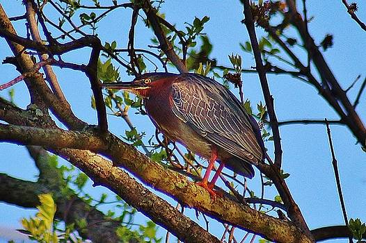 Green Heron In A Tree by Thomas McGuire