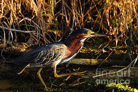 Larry Ricker - Green Heron