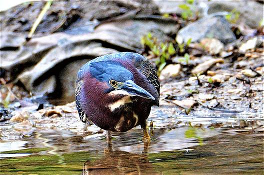 Green Heron Male by Kathy Kelly