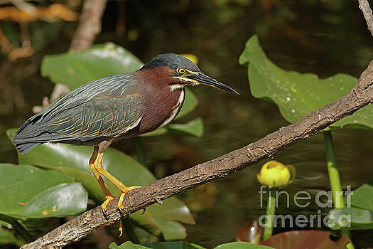 Green Heron on the Glades by Natural Focal Point Photography