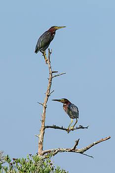 Paul Rebmann - Green Heron Pair