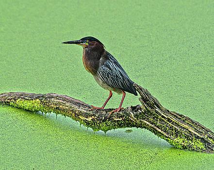 Spade Photo - Green Heron standing