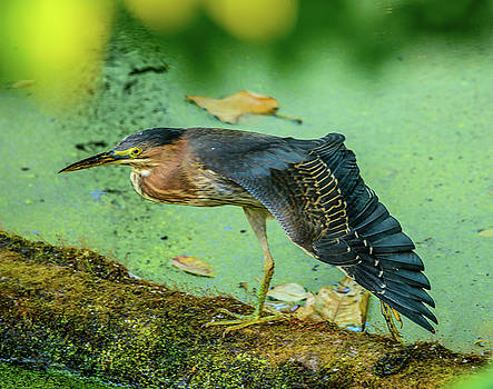 Green Heron Wing by Jerry Cahill
