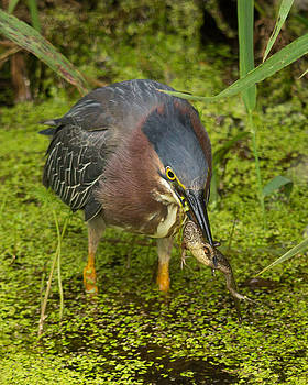 Green Heron with Prey by Kimberly Kotzian