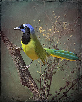 Green Jay - 6991,BES by Wally Hampton