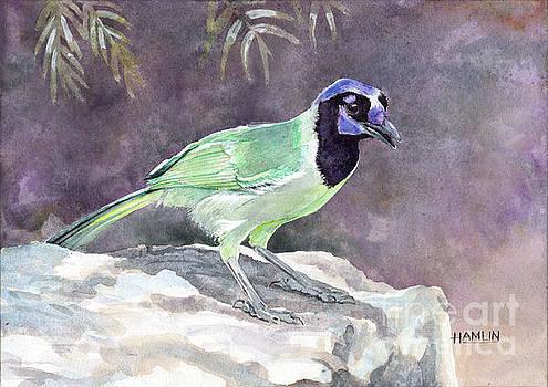 Green Jay by Steve Hamlin