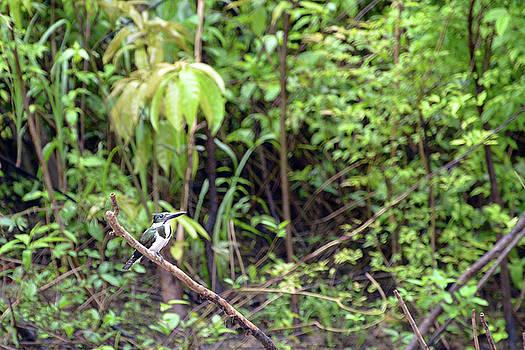 Harvey Barrison - Green Kingfisher on Lago Clavero
