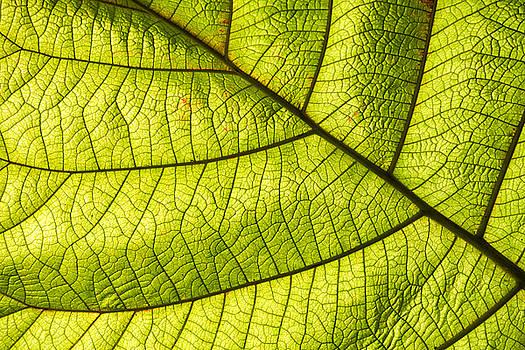 Green leaf closeup by Matthias Hauser