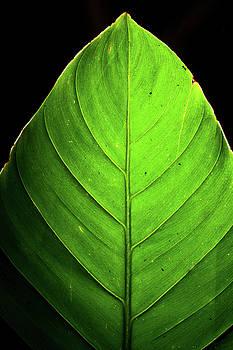 Green Leaf Detail Backlit on black by Keattikorn Samarnggoon