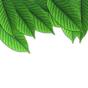 Green Leaf On White Isolated Background by Prasert Chiangsakul
