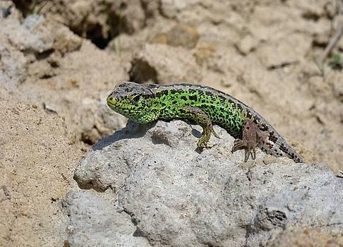 Green Lizard 2 by Renee Pettersson