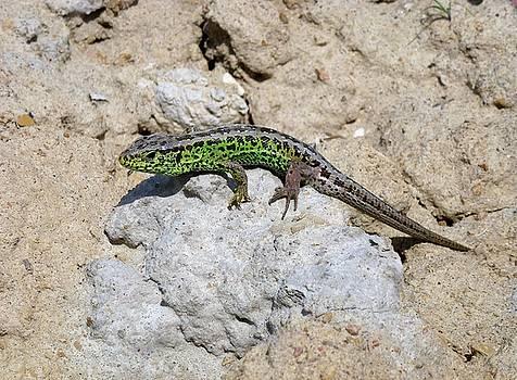 Green lizard by Renee Pettersson