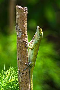 Green Lizard by Willard Killough III