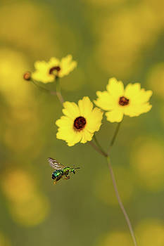 Green Metallic Bee by Paul Rebmann