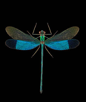 Green Metalwing Damselfly by Gary Shepard