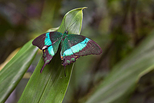 Green Moss Peacock Butterfly by Peter J Sucy