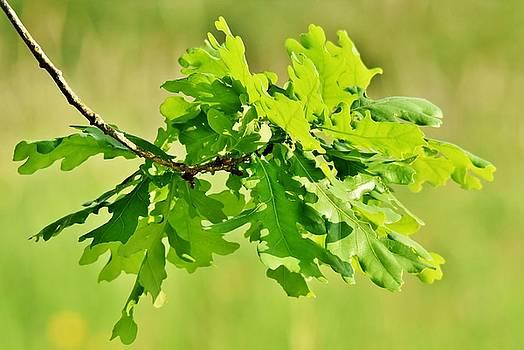 green Oak leaves by Werner Lehmann