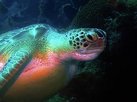 Pauline Walsh Jacobson - Green Sea Turtle 1