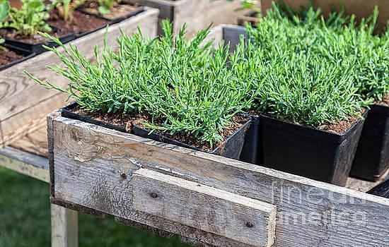 Sophie McAulay - Green seedlings in plant school