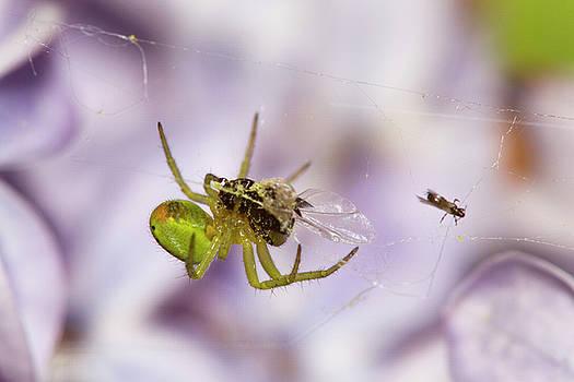Green spider with prey by Jouko Mikkola