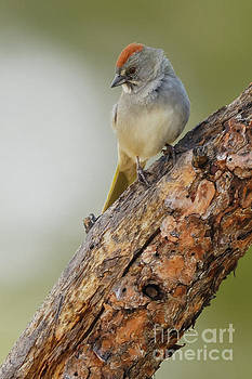 Green-tailed Towhee by Natural Focal Point Photography