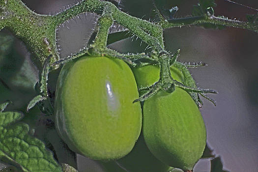Green Tomatoes on the Vine 2 7172017 7545 by David Frederick
