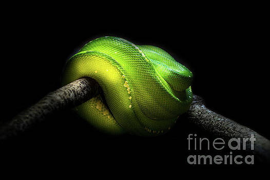 Green Tree Python by Barbara Dudzinska
