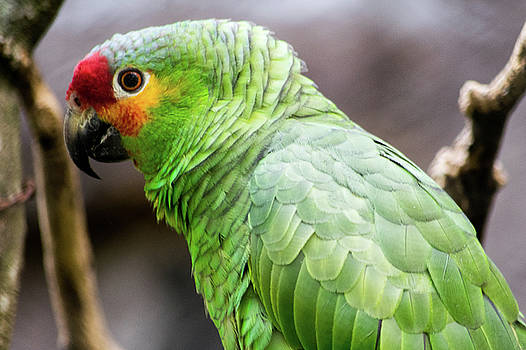 Green tropical parrot, side view. by Cesar Padilla