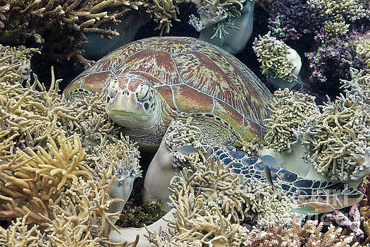 Green turtle resting in coral reef by Carl Chapman